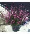 PIANTA DI GAURA LINDHEIMERI COMPATTA fiore di orchidea in vaso cm 14