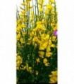 PIANTA DI GINESTRA ODOROSA SPARTIUM JUNCEUM in vaso cm 24