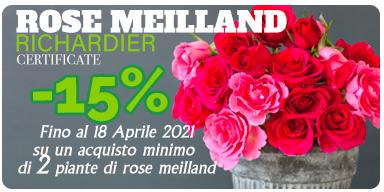 Sconto rose Meilland